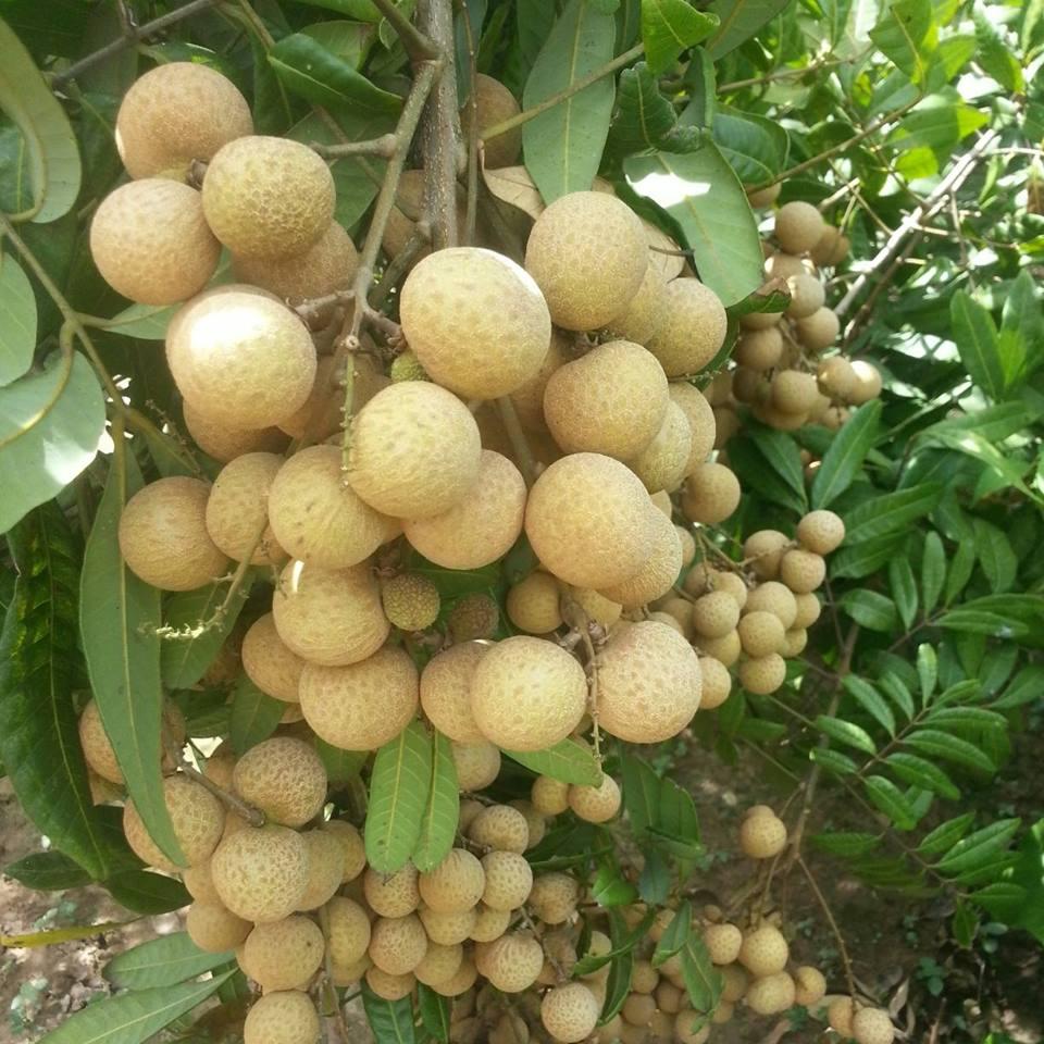 Ứng dụng kỹ thuật chăm bón thời kỳ nhãn ra hoa đậu quả