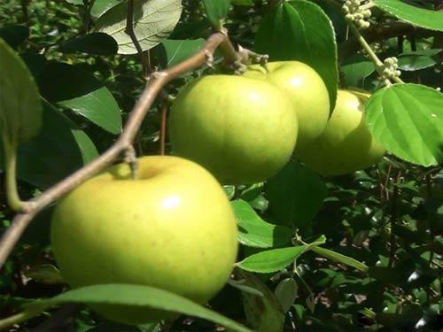 Cách trồng và chăm sóc giống táo thái