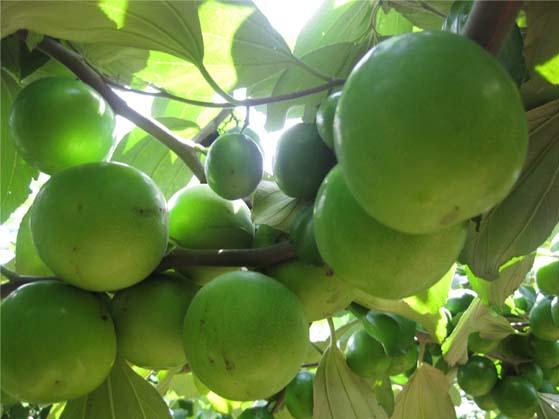 trồng táo ghép